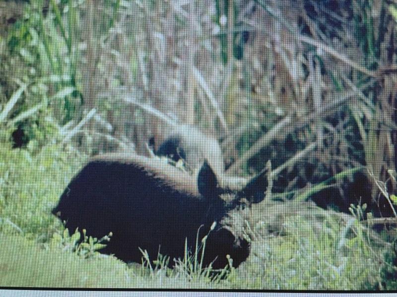 Wild Hog Sightings in LBL