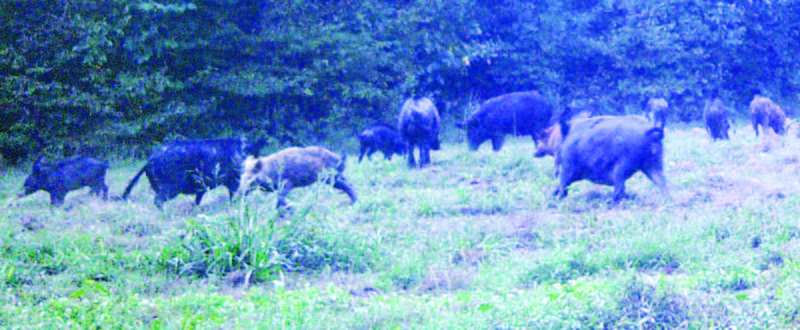 Wild Hog Problem Growing in Our County